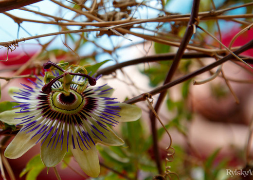 Clarice - Passionflower - Rylsky Art - Solo Image Gallery